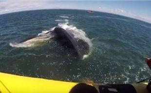 Une immense baleine est passée sous une embarcation de touristes.