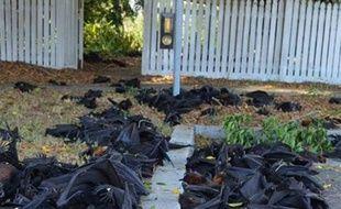 Capture d'écran d'une vidéo où l'on voit des chauves-souris mortes en raison de la chaleur extrême en Australie, en novembre 2014.