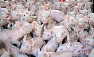 Des cochons dans une ferme (illustration).