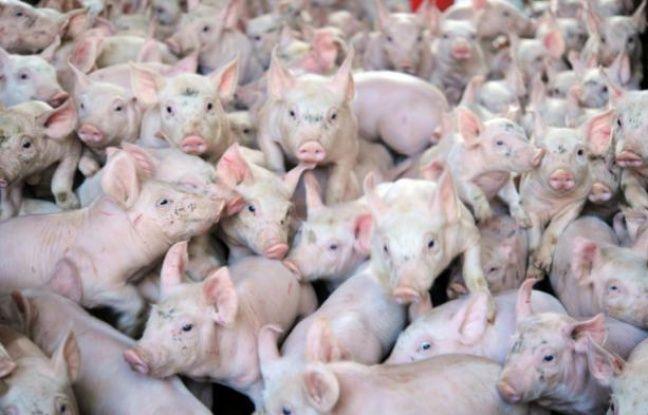 Des cochons dans une ferme de Locronan, le 18 août 2015