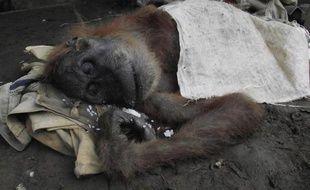 Une femelle orang-outan a été battue à mort par des villageois sur l'île indonésienne de Sumatra, a rapporté mardi une association de défense de la faune sauvage.