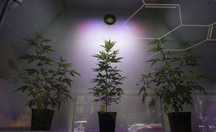 Illustration de plants de cannabis, ici en Italie.