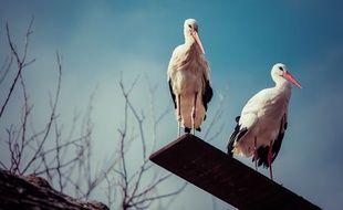 Klepetan et Malena, le couple de cigognes blanches en Croatie, le 17 mars 2015.