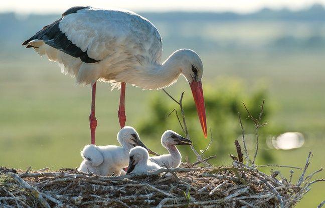 Protégée, la population de cigognes blanches est en augmentation.
