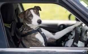 Chien Volant en nouvelle-zélande, des chiens prennent le volant
