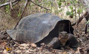 Une espèce rare de tortue géante des îles Galapagos que l'on croyait éteinte il y a plus de 150 ans aurait fait sa réapparition en très petit nombre, selon des travaux publiés lundi aux Etats-Unis.