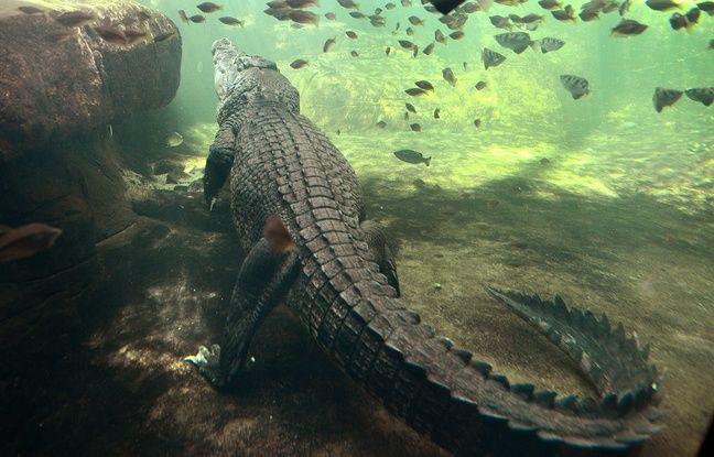 Un crocodile au zoo de Sydney.