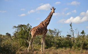 Une girafe vivant à l'état sauvage prise en photo le 21 juin 2017 dans une réserve du Kenya.