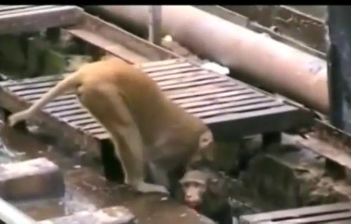 Un singe héroïque sauve un singe électrisé sur les rails – capture d'écran