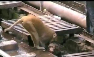 Un singe héroïque sauve un singe électrisé sur les rails