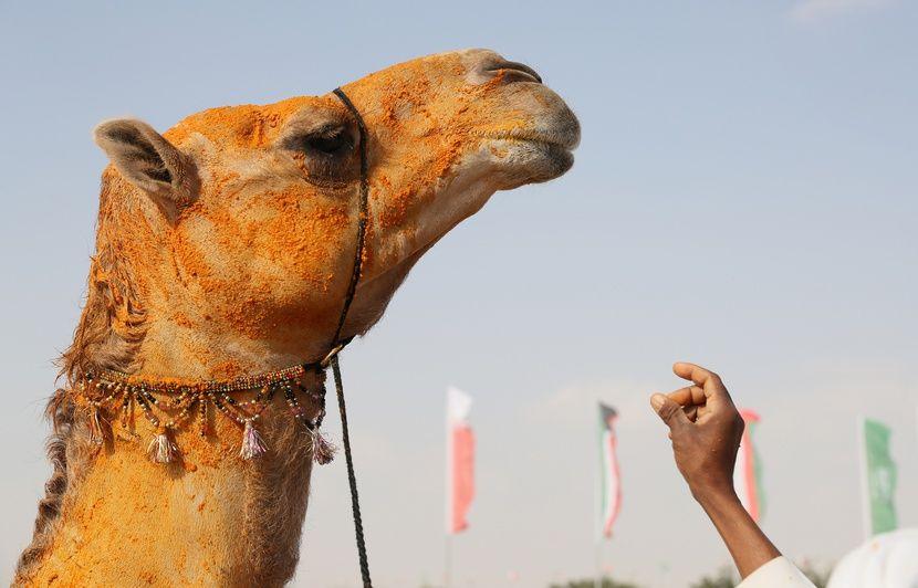 Etats-Unis : Elle tombe d'un chameau au Maroc et réclame 110.000 euros à TripAdvisor