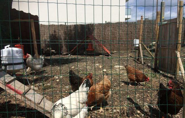 Neuf poules permettent de diminuer les déchets et d'offrir des œufs aux employés.