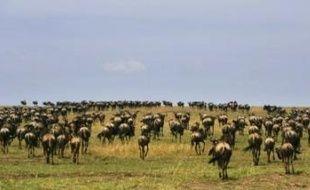 Le spectacle est sublime, quasi-unique au monde: chaque année quelque deux millions d'herbivores migrent du parc du Serengeti en Tanzanie vers le Masaï Mara au Kenya. La grande migration est pourtant menacée par un projet de route commerciale dans le parc.