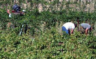 """A la saison des vendanges, des saisonniers portugais sèment l'émoi dans les vignobles des Corbières. Carlos et Filipe accusent des viticulteurs audois de les avoir fait travailler tout l'hiver """"sauf les jours de pluie"""" pour 700 euros par mois, et ont porté l'affaire en justice."""