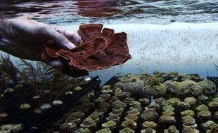Des coraux cultivés le 28 juillet 2015 dans les bassins de la ferme Coral Biome à Marseille