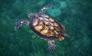 Une tortue de mer.