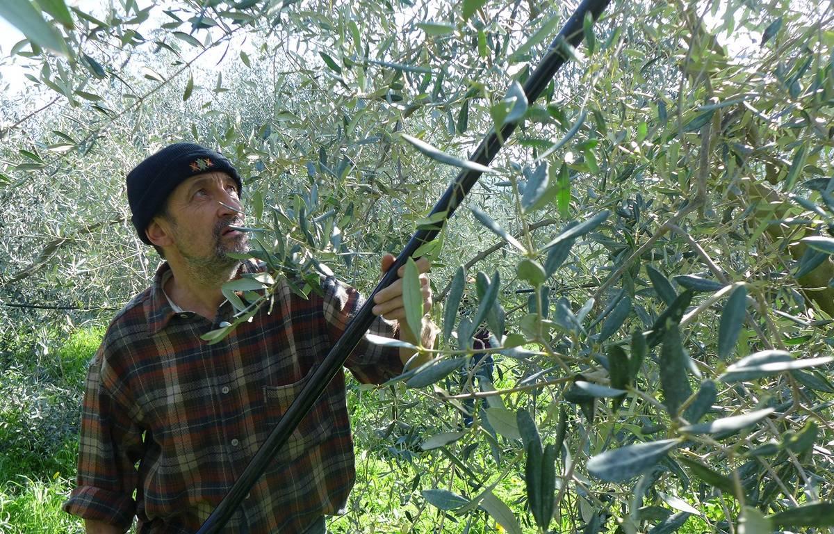 A la Trinité, Henri Derepas a subi une baisse de 40% de sa production d'olives.  – M. Frénois / ANP / 20 Minutes