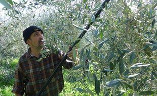 A la Trinité, Henri Derepas a subi une baisse de 40% de sa production d'olives.