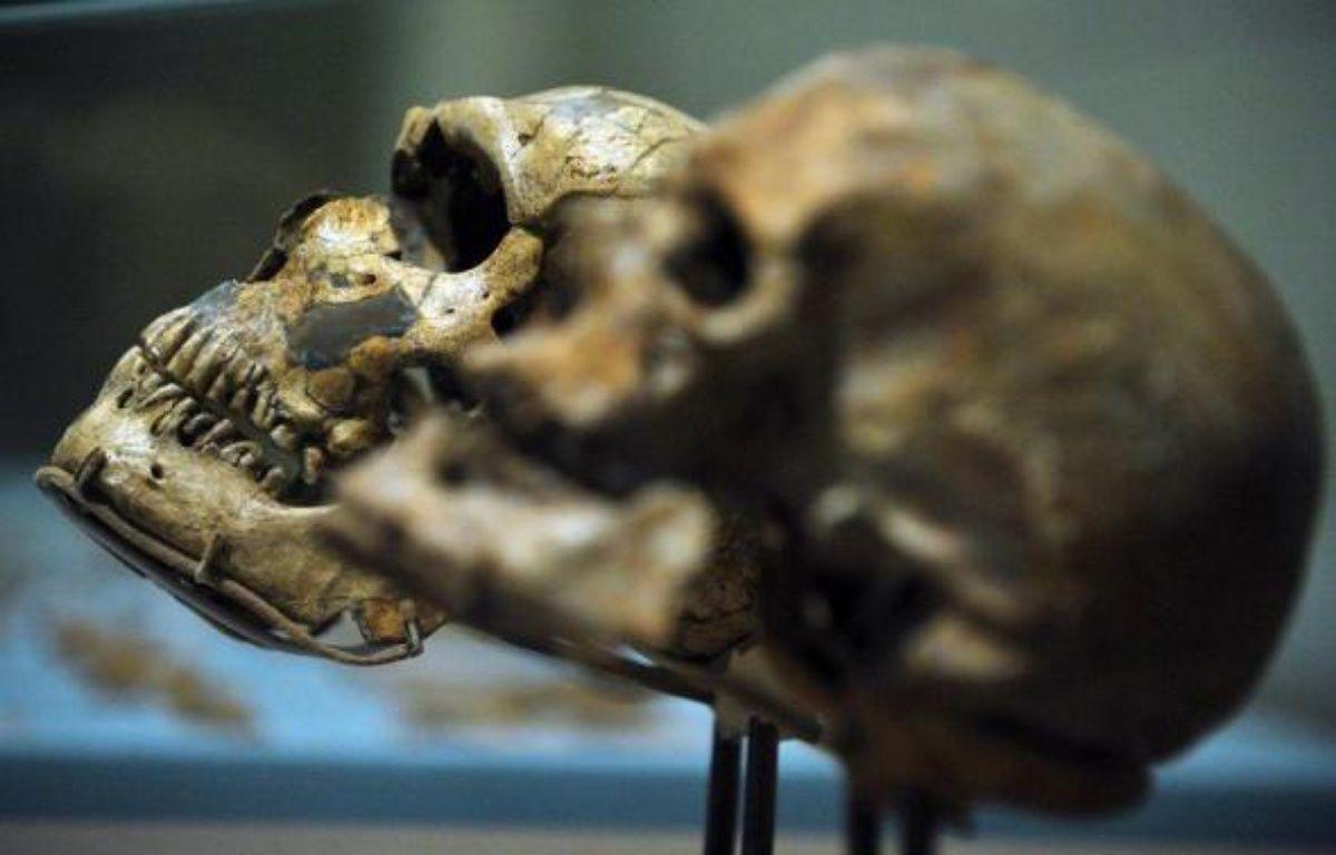 L'Homo sapiens devient adulte plus lentement que son ancêtre l'homme de Neandertal, selon une recherche euro-américaine publiée lundi aux Etats-Unis et qui s'appuie sur une nouvelle analyse de dents des deux espèces à l'aide de rayons X très puissants. – Mandel Ngan AFP/Archives