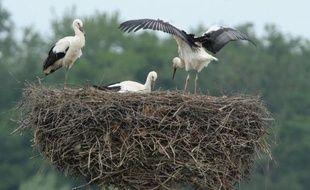 La grande migration des cigognes vers le Sud a commencé, mais certaines n'ont aucune intention de quitter l'Alsace. Grâce à une réintroduction réussie, l'échassier emblématique de la région y a repris ses aises, peut-être même un peu trop