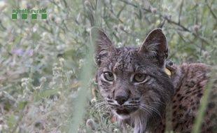 Certains lynx sont touchés par un mystérieux trouble neurologique. (Illustration)