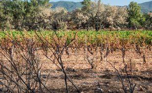 Les vignes en bordure de rangs et les petites parcelles les plus isolées sont celles qui ont le plus soufferts