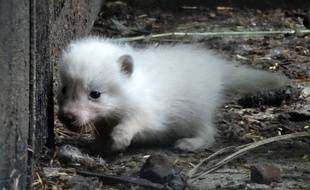 L'un des six bébés renards polaires nés au zoo de Lille.
