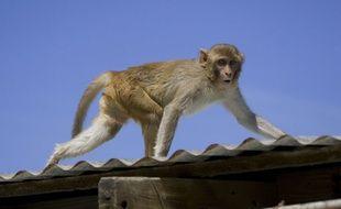 Un macaque rhésus.