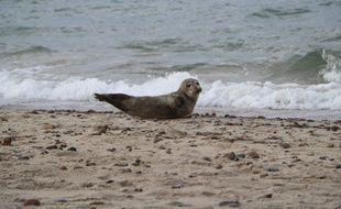 Un phoque sur une plage danoise.