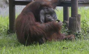 L'orang-outan Ozon a attrapé une cigarette allumée lancée dans sa direction et s'est mis à la fumer, le 4 mars en Indonésie