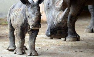 Carnet rose exceptionnel au parc safari de Peaugres en Ardèche: un rhinocéros blanc d'une cinquantaine de kilos, baptisé Goliath, est né le 18 septembre au terme d'une gestation de 500 jours.
