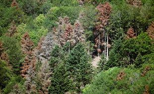 Dans les Vosges, des sapins meurent de soif, et c'est nouveau.
