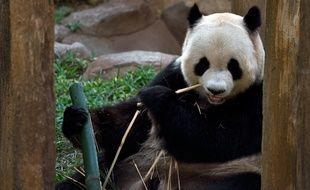 Un panda (illustration)
