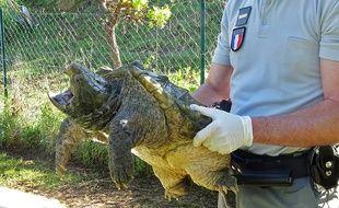 La tortue alligator récupérée est reconnaissable avec son bec pointu et sa carapace dentelée