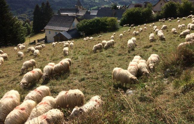 Certains bergers et éleveurs craignent pour leurs troupeaux.