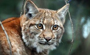 Illustration lynx