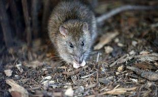 Un rat à Paris