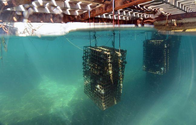 Le port de Cap d'Ail a immergé 51 nurseries pour petits poissons.