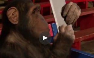 Un chimpanzé bluffé par les tours du magicien sur iPad.