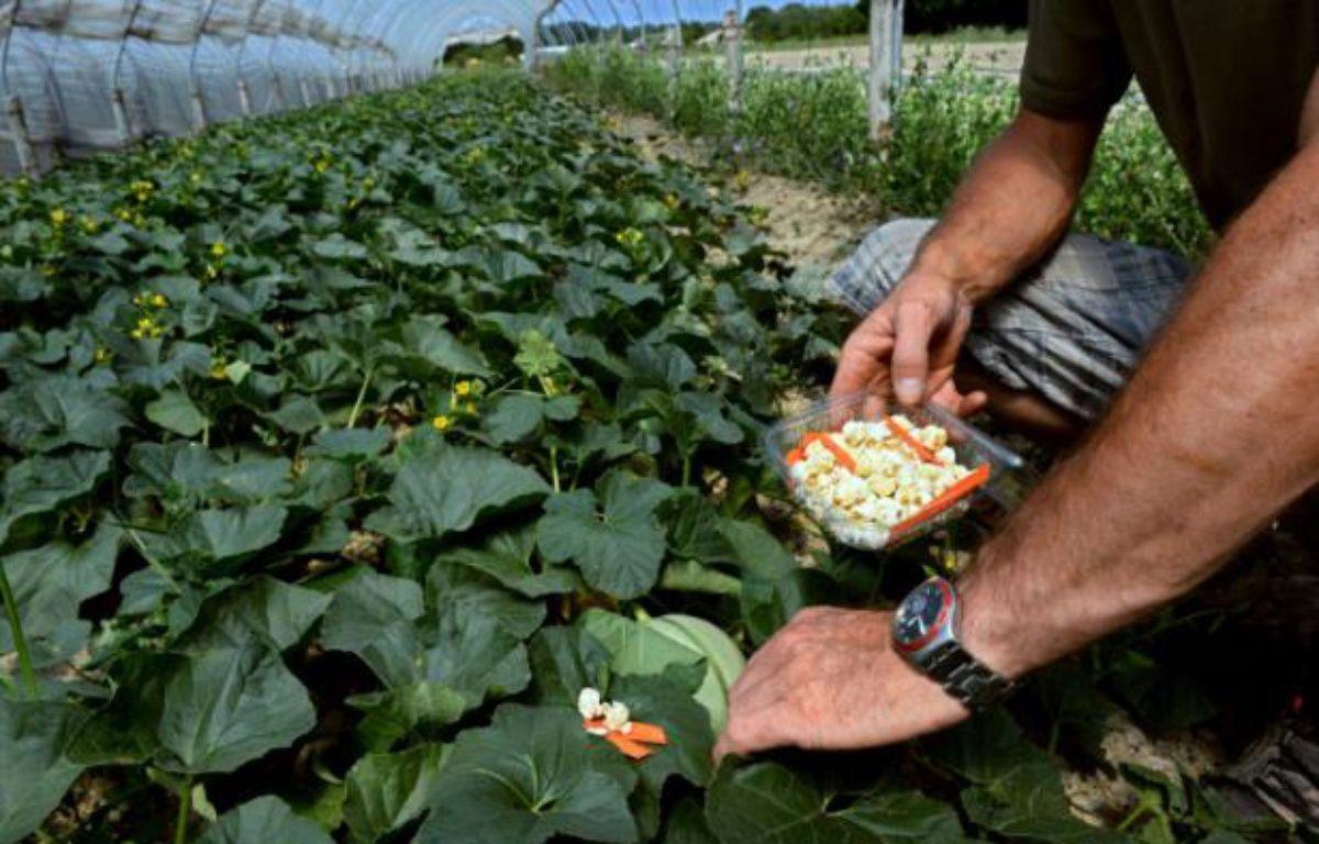Un agriculteur utilise une larve élevée par l'entreprise Biotop pour protéger ses cultures de melons, à Livron-sur-Drôme, près de Valence, le 24 juillet 2013 – PHILIPPE DESMAZES AFP