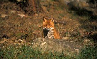 Des renards ont été aperçus au cimetière du père Lachaise