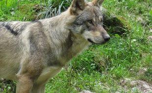 A Sainte-Croix, le 11 septembre 2017- Un loup au parc Sainte-Croix, en Moselle.