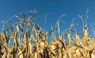 Des plans de maïs assoiffés, dans l'Ain. (illustration)