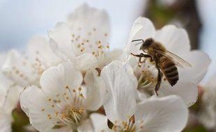 Une abeille sur une fleur de cerisier.