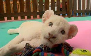 Clara, le lionceau blanc né dans un zoo au Brésil, dans une vidéo de Sky News.