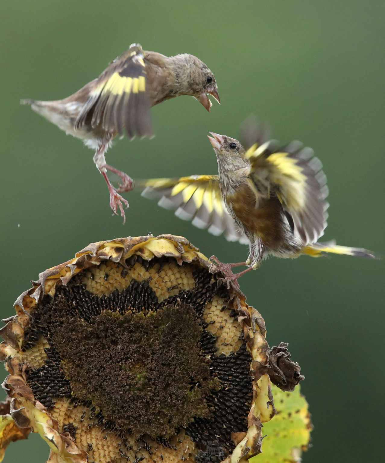 """Competition over food Two bellbirds look daggers at each other on the head of a sunflower while competing over its seeds at a field in the city of Chuncheon, northeast of Seoul, on Sept. 6, 2018, two days ahead of """"baengno."""" Translated in English as """"White Dew,"""" baengno is one of the 24 seasonal divisions of the lunar calendar that marks the onset of dew."""