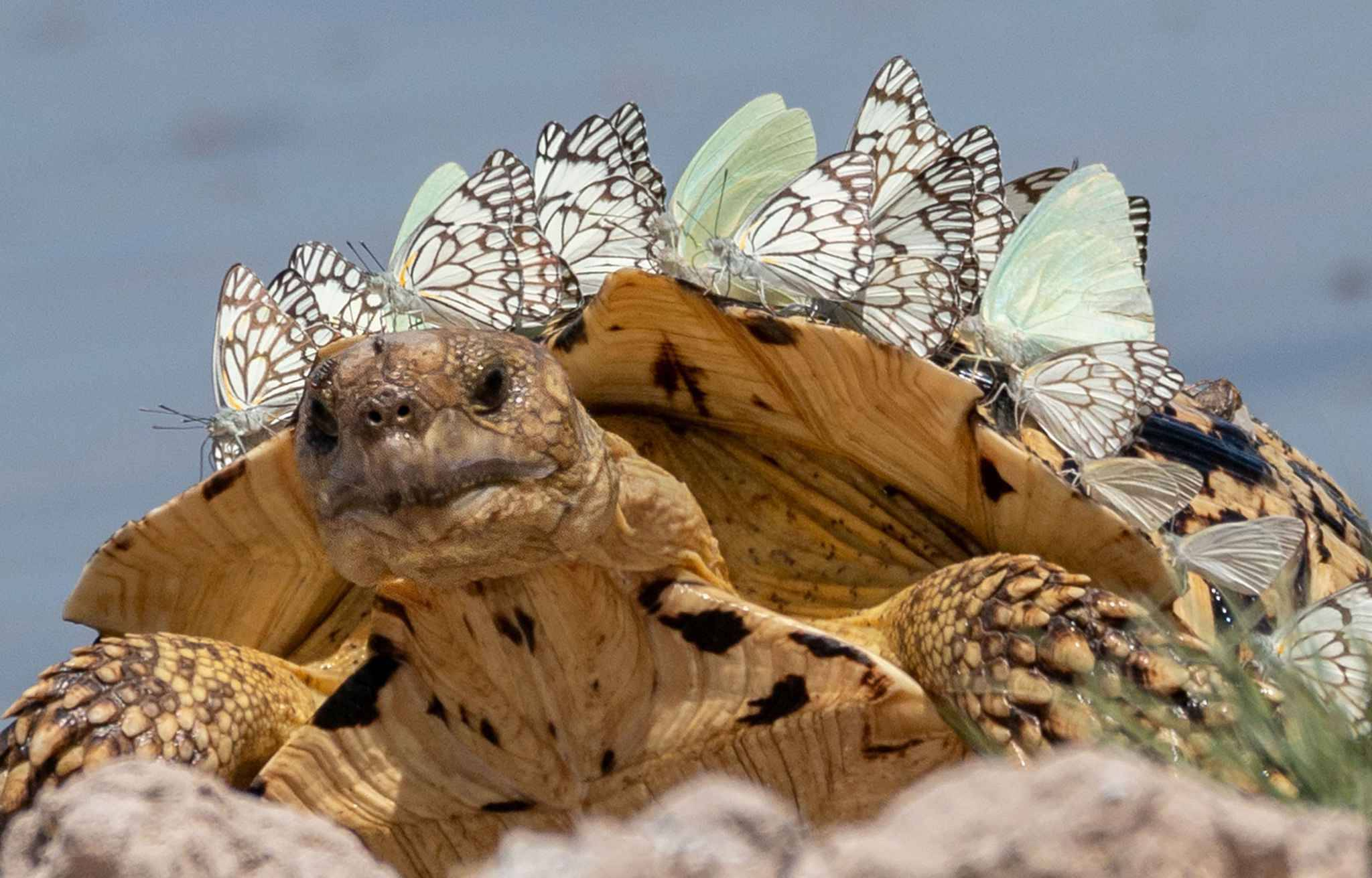 *MANDATORY BYLINE* PIC FROM Hubert Janiszewski/Caters News - (PICTURED: The turtle with butterflies perched on him in Botswana, Lesholoago waterhole at Mabuasehube Game Reserve. PIC TAKEN ON 26/02/19) - A turtle has been transformed into a Stegosaurus after a swarm butterflies landed on his back. The amazing images taken by Hubert Janiszewski, 43, taken earlier this year (February 26, 2019) showcase nature at its finest.Hubert was visiting Mabuasehube Game Reserve, Botswana, South Africa, when he spotted the turtle being bombarded by a swarm of butterflies.SEE CATERS COPY  - Hubert Janiszewski/Caters News