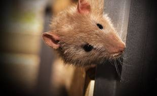 Un rat. Illustration.