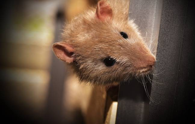 Toulouse: Une alerte après la découverte d'un rat à la cuisine centrale (qui fournit les cantines)