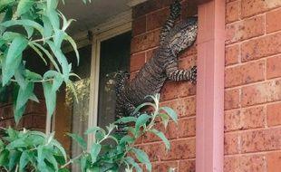 Un Australien a découvert un lézard d'1,5 mètre sur le mur de sa maison.